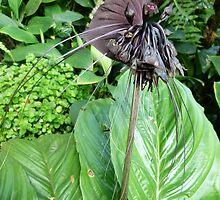 Tacca chantrieri or Bat Lily by Trish Meyer
