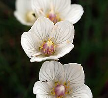 Grass of Parnassus by kalaryder