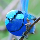 Splendid Blue Wren by Scott  Cook