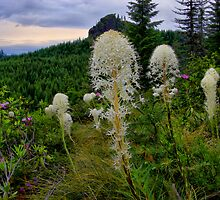 Wild Bear Grass ~ Oregon Cascades ~ by Charles & Patricia   Harkins ~ Picture Oregon