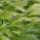 Ornamental Grasses by plunder