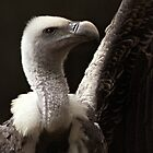 Griffon Vulture by LisaRoberts