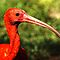 Scarlet Ibis by ☼Laughing Bones☾