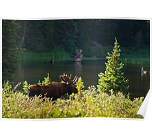 Moose At Brainard Poster