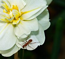Paperwhite Ant by Randy Shannon