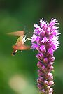 Hummingbird Moth  by Jeannie  Mazur