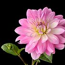Dahlia by Lea Valley Photographic