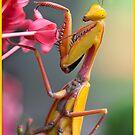Yellow Praying Mantis , Mission Beach by Susan Kelly