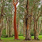 Red Gum by Susan Segal
