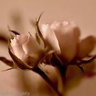 so soft ... by AnnaJameson