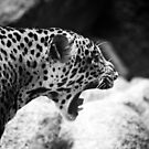 Antagonized Cheetah by Mark Lee