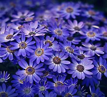 Cineraria Blue by Karen E Camilleri