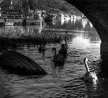 Swans under Graignamanagh Bridge, County Kilkenny, Ireland by Andrew Jones