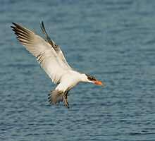 Caspian Tern by Wayne Wood