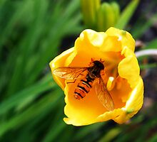 Hover Fly in Buttercup by Karen Colebeck