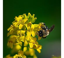 Fanfare For The Common BumbleBee Photographic Print