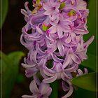 Happy Hyacinth by margo