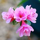 Azalea Blooms by Penny Smith