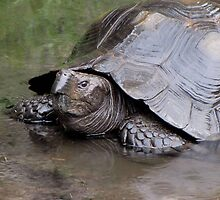 Rainy Day Tortoise by Veronica Schultz