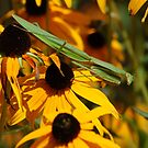 Praying Mentis resting on Black Eyed Susan's by Mechelep
