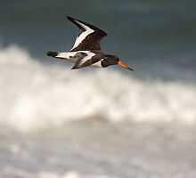 Oystercatcher in flight by Jon Lees