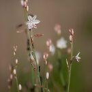 Delicate - Australian wildflowers by Jenny Dean