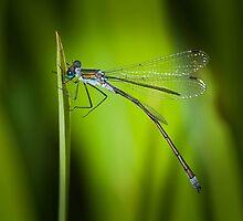 Emerald Damselfly - Lestes sponsa by Robert G Robson
