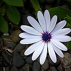 I'm only a common old Daisy....! by Roy  Massicks