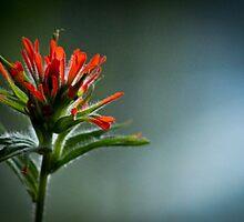 Indian Paintbrush  by RaynePhoto