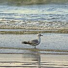 Common Gull (First Summer) by VoluntaryRanger