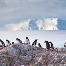 The Creche (Gentoo Penguins, Port Lockroy, Antarctica) by Krys Bailey