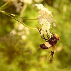 A Little Volucella pellucens nectaring by Rosie Nixon