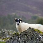 Highlands Sheep by AlexanderFord