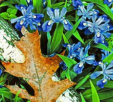 CRESTED DWARF IRIS by Chuck Wickham
