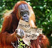 """I wanna go home"" -The Hitchhiking Orangutan by Doty"