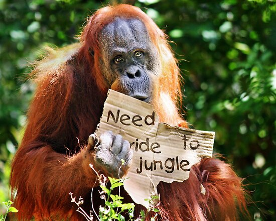 """I wanna go home"" -The Hitchhiking Orangutan by Doty"