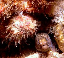 Baby Mosaic Moray Eel. by Loachlover