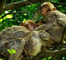 Three Barbary Ape Macaque buddies by anjafreak