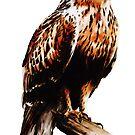 Rough legged hawk (Buteo lagopus) by Terry Bailey