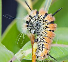 Fingered Dagger Moth Acronicta dactylina Caterpillar by DigitallyStill