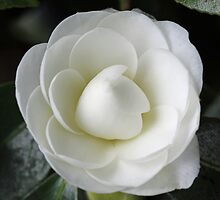 White Camellia Japonica in near full bloom by mightymite