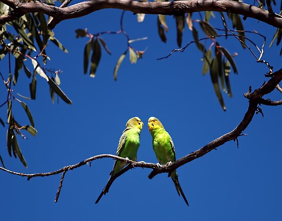 Budgie Love by Pene Stevens