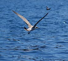 Blue Adriatic sea and gull by Ana Belaj