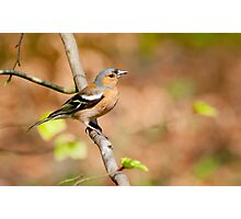 Chaffinch in woods Photographic Print