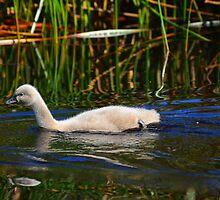 Black Swan Cygnet by Geoff Beck