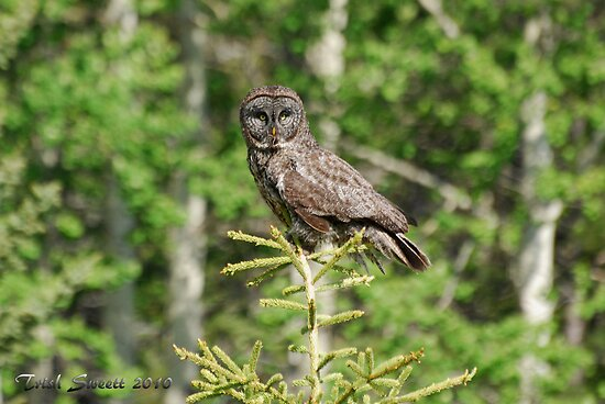Great Gray Owl Portrait by Trish Sweett