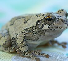 Gray tree frog by JohnDSmith