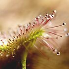 Drosera fan by kalaryder