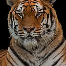 Amur Tiger Portrait by JMChown