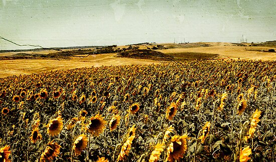 Sunflower Field Vintage by anjafreak